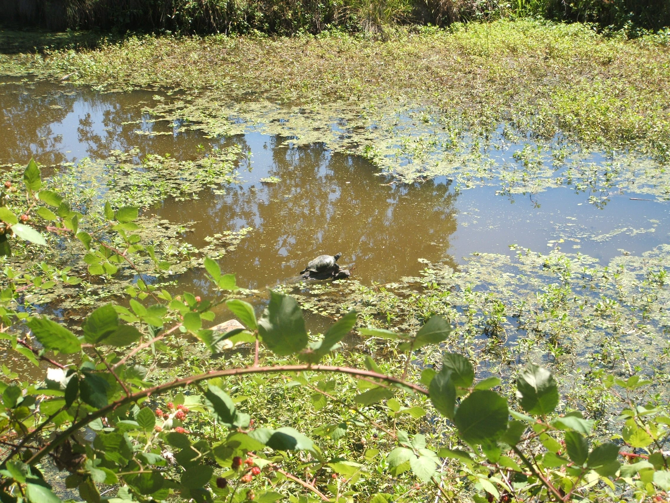 Western Pond Turtle Facts