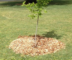 Drought Care for Trees